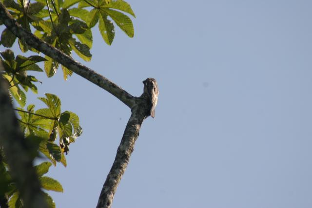 Pajaro Estaca (Common Potoo) Very rare bird