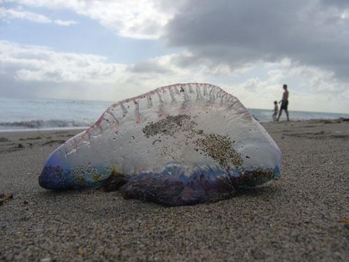 largest man of war jellyfish - photo #17